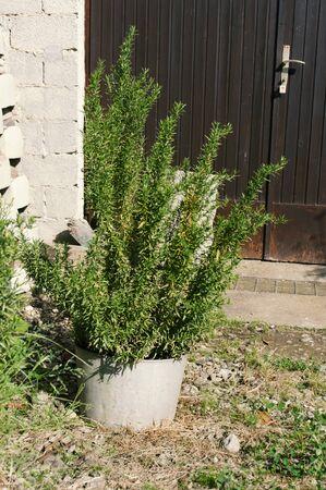 Rosemary tree in a pot near the barn doors. Old herbal garden, rustic style. 免版税图像