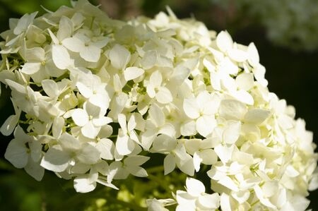 white hortensia in the garden, close up flowers, botanical background. copy space. 免版税图像