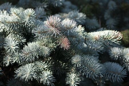 Branches of blue spruce, christmas background, pine tree. Botanical.
