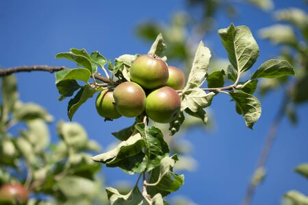 Apples and leaves. bunch, autumn harvesting, close up, blue sky background. Natural fruits.