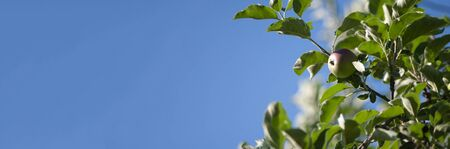 Blue banner with apples, green leaves, autumn harvesting, summer fruits. Copy space text. 免版税图像
