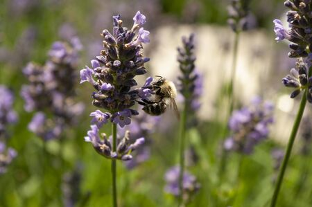 Honey Bee picking nectar in a lavender garden. Blooming herbals. Purple flowers. Copy space text, close up. 免版税图像