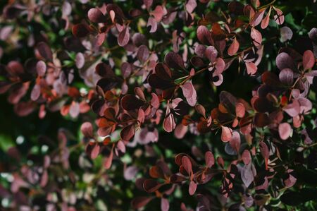Barberry,berberis thunbergii, branches with red leaves, decorative plant for garden, autumn nature, fall background.
