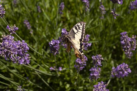 Swallowtail butterfly - Papilio rutulus feeding on nectar from Lavender flowers Lavandula, summer time in july. Blooming season.