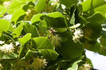 Honey bee on lime, linden flowers,green leaves. Blooming tree, natural healing herbs.
