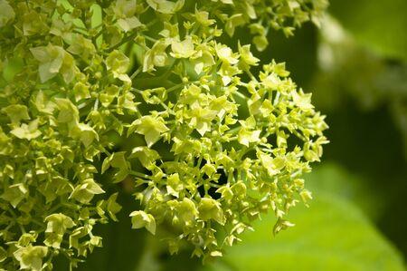 Green hydrangea flower background, copy space. Botanical. Blooming season summer