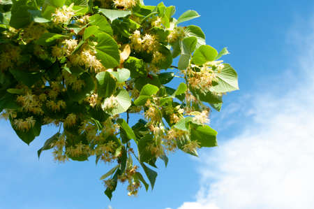 Branch of linden tree, lime flowers. Blue sky on background. 免版税图像