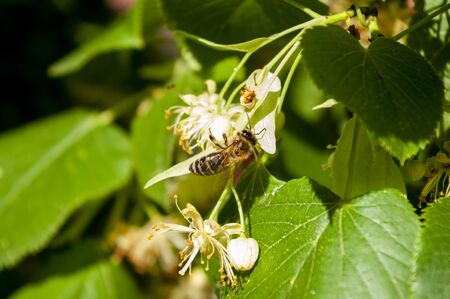 Bee picking honey from lime linden flowers, close up. Tree blooming. Herbal tea.
