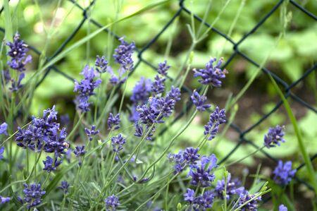 Lavender flowers in the garden, herbal plants, violet color. Healthy living. Close up. 免版税图像