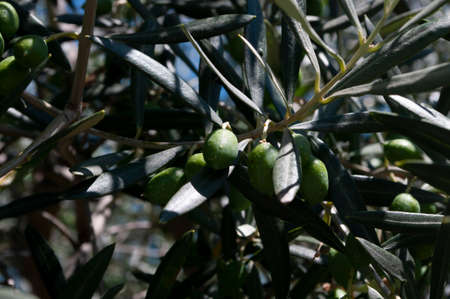 Olive oil tree branch, green leaves.Background.Mediterranean food.