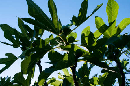 Fig fruit tree branches with big green leaves.