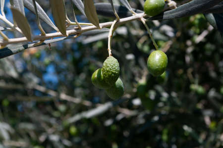 Green olives background. Branch of olive tree. Mediterranean nature.Plant.