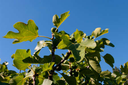 Fig tree branches with big green leaves. Summer time.