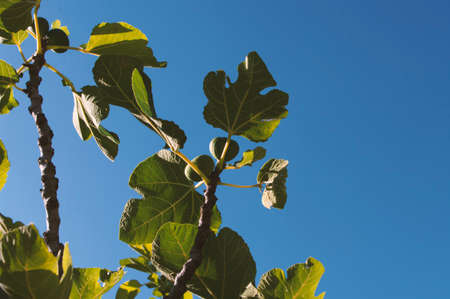 Fig fruit tree branches with big green leaves. Summer fruit. 免版税图像