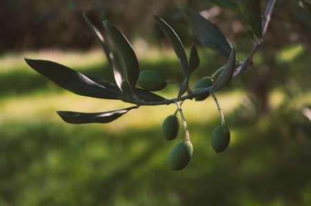 green olives. Mediterranean vegetables. Harvest season. green nature.