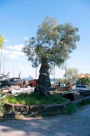Oldest olive tree, Slovenia adriatic sea nature. Green leaves.