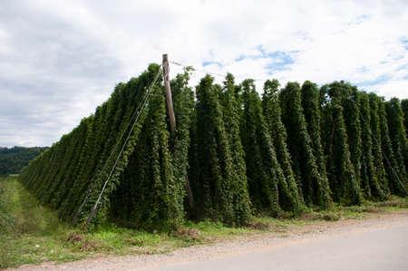 hop plants plantation, green leaves. home made craft beer, harvest. Growing up.