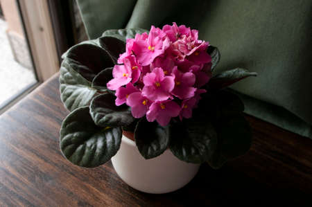 Pink African Violet Plant on wooden table by window at home garden