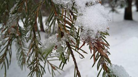coniferous: snowy coniferous branch