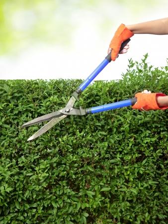 garden shears: Manos con tijeras de podar cortando un seto en el jard�n