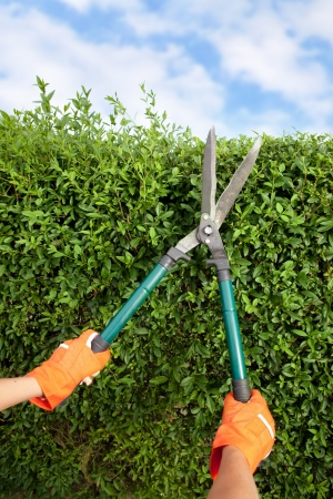 trims: Hands with garden shears cutting a hedge in the garden  Stock Photo