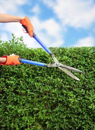 Hands with garden shears cutting a hedge in the garden  Reklamní fotografie