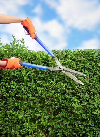 bush trimming: Hands with garden shears cutting a hedge in the garden  Stock Photo