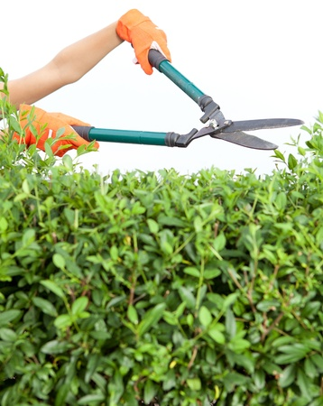 trimming: Hands with garden shears cutting a hedge in the garden  Stock Photo