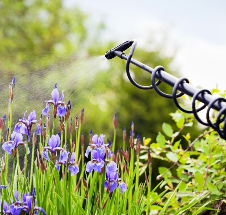 fungal disease: Protecting iris flower from fungal disease, gardening concept
