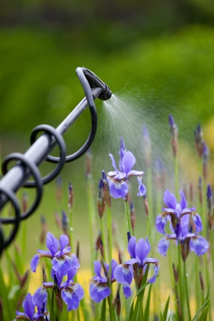 Protecting iris flower plant from vermin with pressure sprayer photo