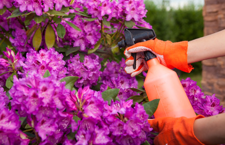 fungal disease: Protecting azalea plant from fungal disease or aphid, gardening concept