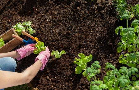 Vrouw planten sla en tomaten, tuinieren begrip Stockfoto