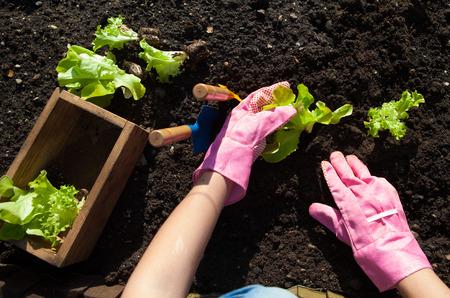 Vrouw planten van sla, tuinieren begrip