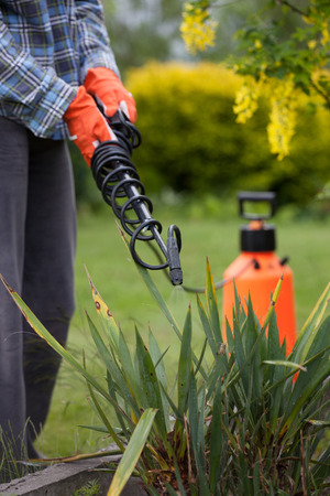 insecticidal: Protecting yucca plant from fungal disease or vermin with pressure sprayer, gardening concept Stock Photo