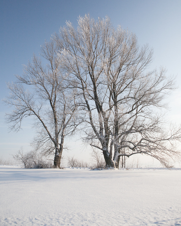 snowbank: Two trees in white winter snow minimalist landscape, blue sky above Stock Photo