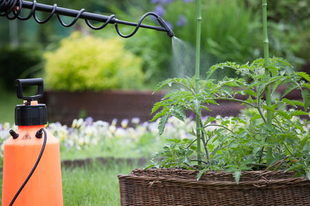 insecticidal: Protecting tomato plants from fungal disease or vermin with pressure sprayer gardening concept