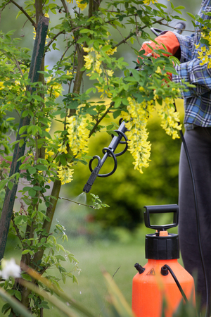 insecticidal: Protecting laburnum tree from fungal disease or vermin with pressure sprayer gardening concept Stock Photo