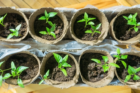 vegetable seedlings in peat pots and trays