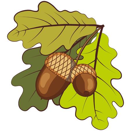 acorns: Oak branches with acorns.  Illustration