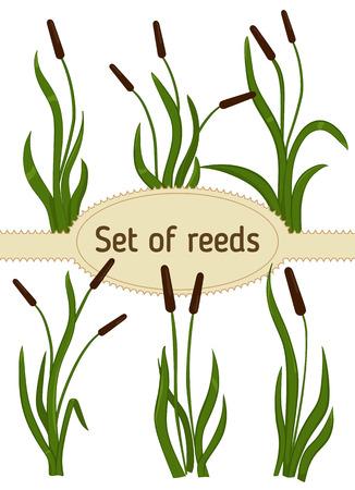 bulrush: Set of reeds