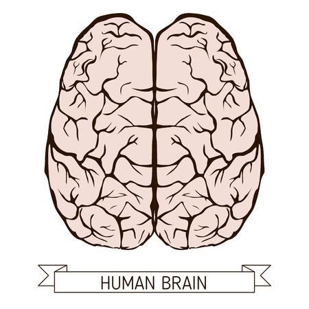 gyrus: Outline illustration of human brain on white background