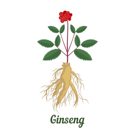 Vector illustration of root and leaves panax ginseng on white  background