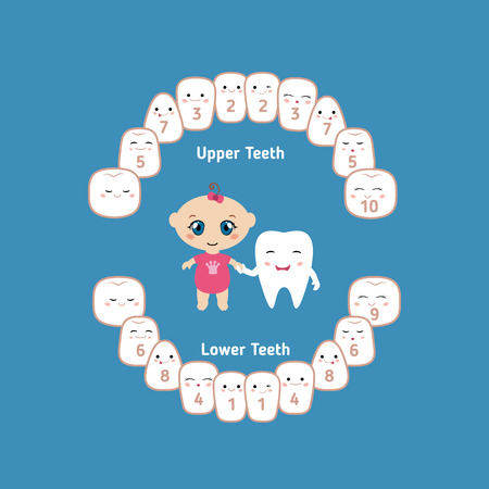 incisor: Temporary teeth - names, groups, period of eruption and shedding of the children.