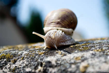 hermaphrodite: snail Stock Photo