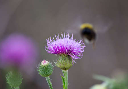 bumblebee and burdock photo