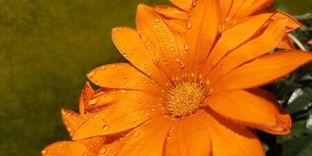 Close-up of open flowers of orange gazania rigens with drops of dew or rain on petals, lighted by bright sun, against blurred background of light green lawn in garden.Selective focus.Copy space 免版税图像
