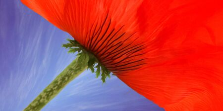Red poppy against blue sky with cirrus clouds.Texture of flower petal,copy space Stock Photo