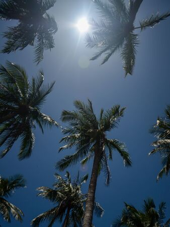 Palm trees and the bright sun against the blue sky. Bottom view from the ground on green tropical coconut trees on a background of a clear sunny summer day and blue sky. Photo taken against the sun.