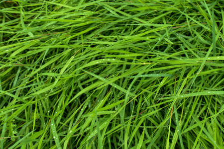Green grass with dew drops. Background with green grass. wide aperture focus. A lot of green grass stalks with long leaves. Herbaceous background, beautiful herbal texture. Close-up, selective focus.