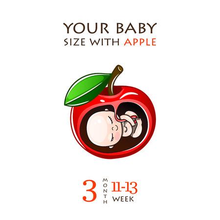Entwicklungsstadien der Schwangerschaft, die Größe des Embryos für Wochen. Menschlicher Fötus im Mutterleib 1 bis 9 Monate. Vektorillustrationen Vektorgrafik
